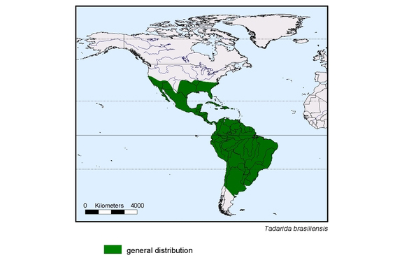 map about the distribution of Tadarida brasiliensis